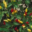 Pimienta o pimiento de cayena